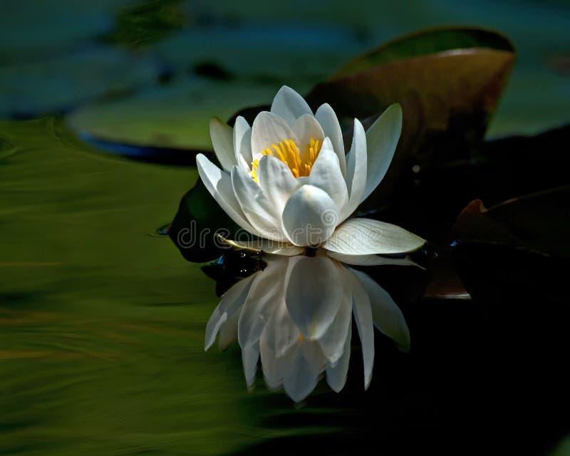 För vit för Nymphaeaalbaamong waterlily blad fotografering för bildbyråer