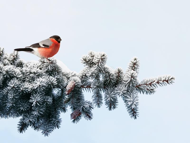 För vykortfågel för nytt år domherre på en filial av en festlig spruc royaltyfria bilder