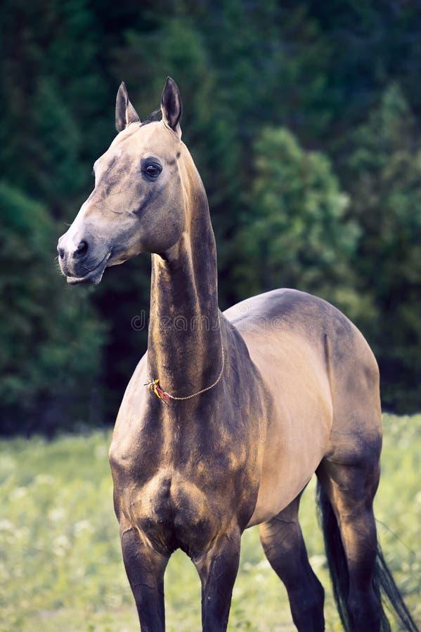 För welsh för mörk fjärd som sportive hingst ponny poserar nära höstträd royaltyfri foto