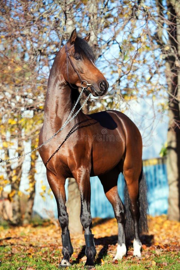 För welsh för mörk fjärd som sportive hingst ponny poserar nära höstträd fotografering för bildbyråer