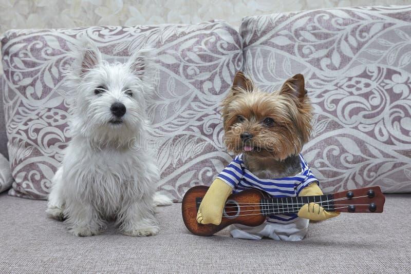 För för Yorkshire för två hundkapplöpning västra höglands- vit terrier terrier och valp som spelar gitarren ukulele arkivfoton