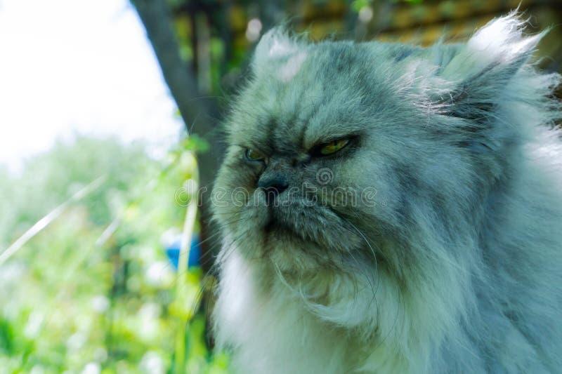 Förargad katt med en ilsken framsida, stående av det missnöjda husdjuret, ont se royaltyfria bilder