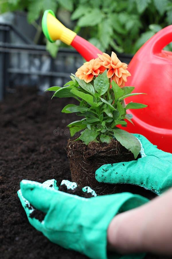 Förbereda dahlian för att plantera royaltyfri foto