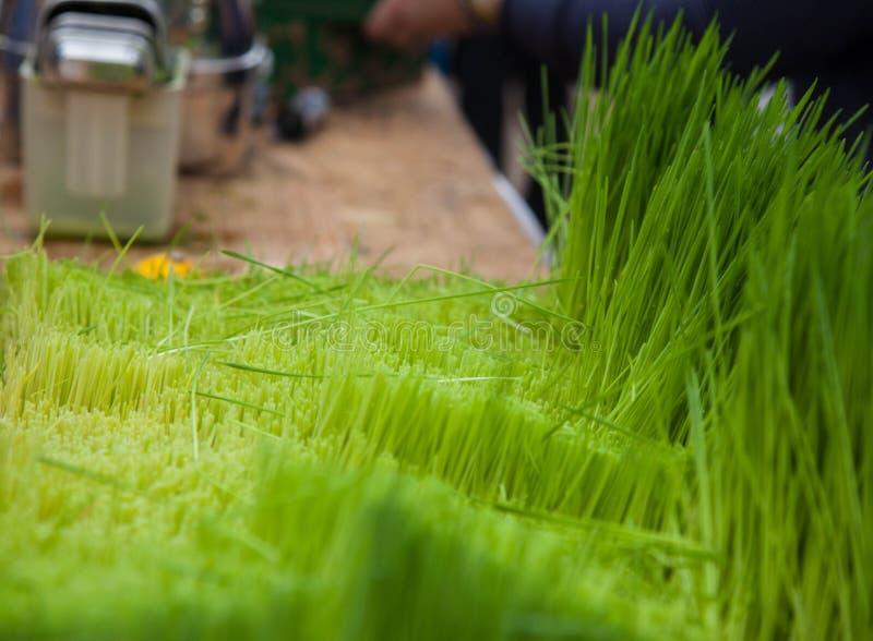 Förberedelsen av ny fruktsaft från ett grönt gräs royaltyfria bilder