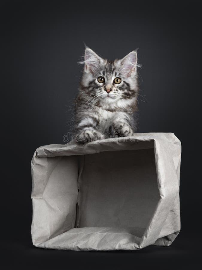 Förbluffa den gulliga Maine Coon kattkattungen, på svart bakgrund royaltyfri bild