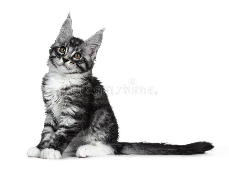 Förbluffa den gulliga svarta silverstrimmig kattMaine Coon katten på vit royaltyfri bild