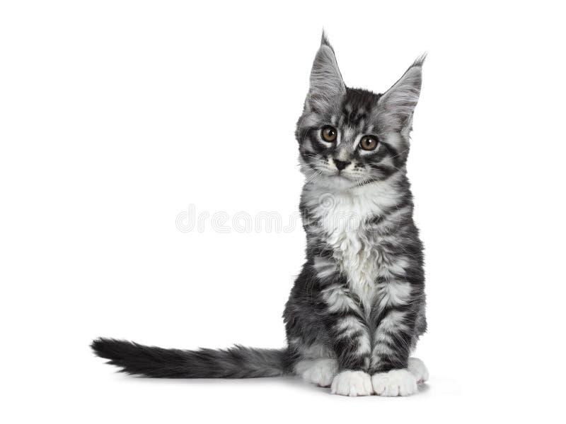 Förbluffa den gulliga svarta silverstrimmig kattMaine Coon katten på vit royaltyfri fotografi