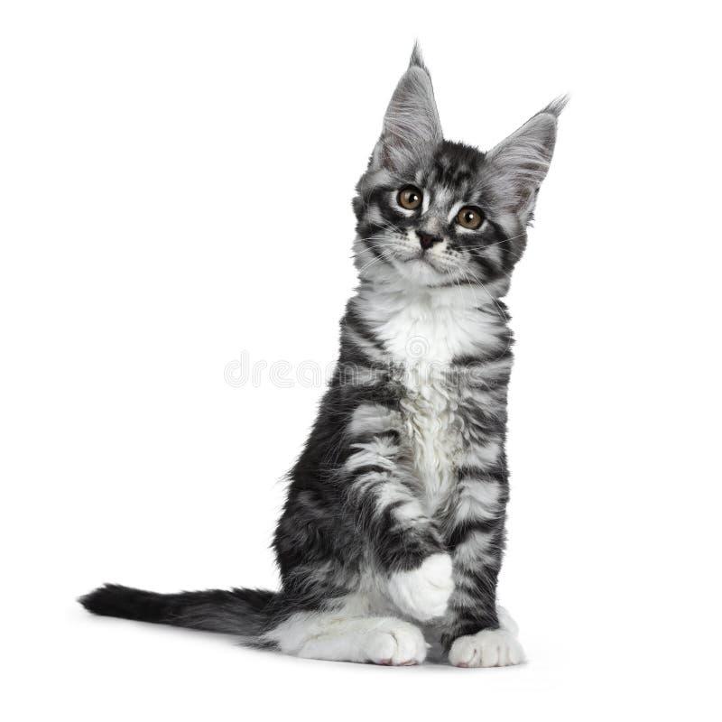 Förbluffa den gulliga svarta silverstrimmig kattMaine Coon katten på vit arkivbilder