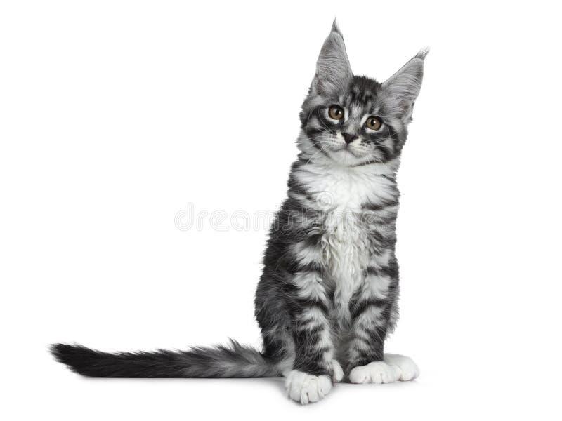 Förbluffa den gulliga svarta silverstrimmig kattMaine Coon katten på vit royaltyfria bilder