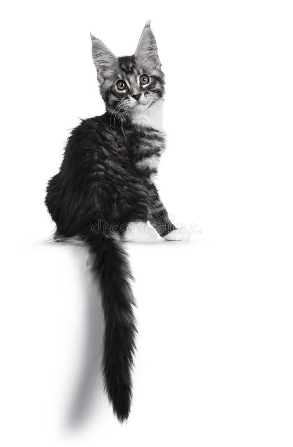 Förbluffa den gulliga svarta silverstrimmig kattMaine Coon katten på vit arkivfoto