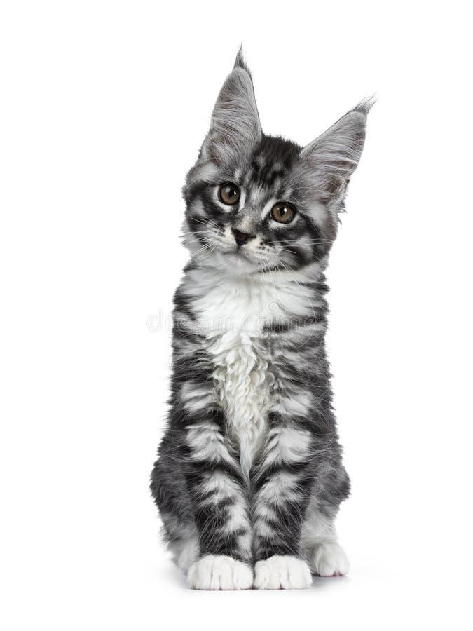 Förbluffa den gulliga svarta silverstrimmig kattMaine Coon katten på vit royaltyfria foton
