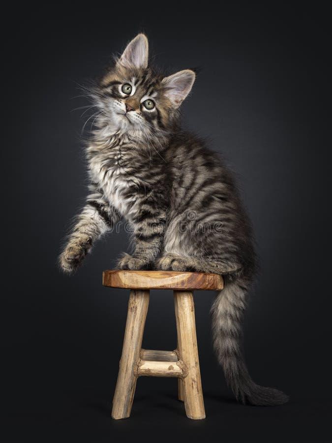 Förbluffa den klassiska svarta strimmiga katten Maine Coon på svart arkivfoton