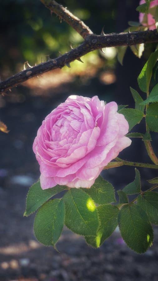 Förbluffa den rosa rosen arkivfoton