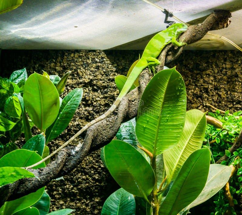 Förbluffa den vibrerande gröna anoleödlan som sitter på en vriden stående för exotiskt husdjur för reptil för trädfilial härlig d arkivfoto