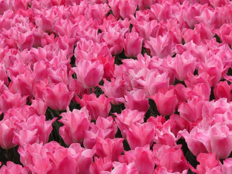 Förbluffa det rosa tulpanfältskottet Många tulpan som blommar i trädgården arkivfoton