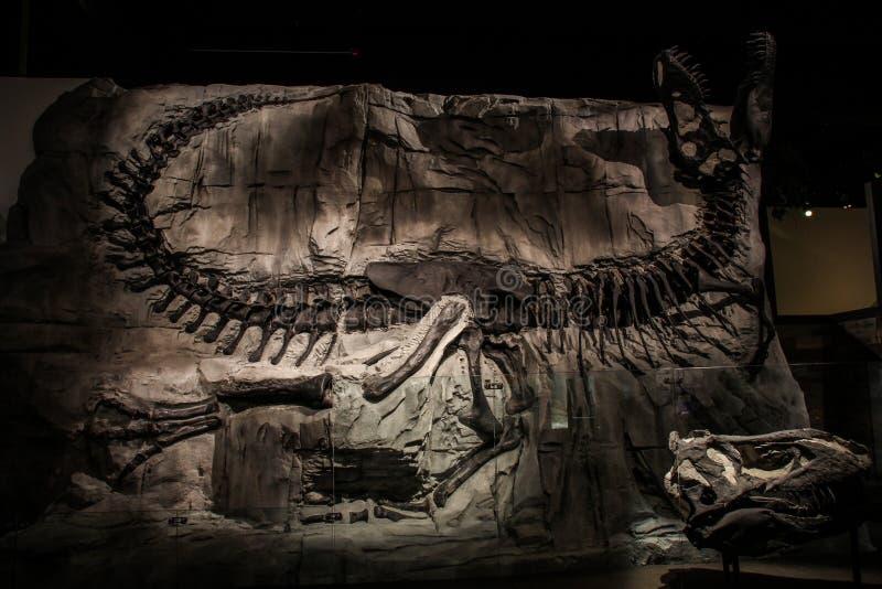 Förbluffa dinosauriefossil, kungligt Tyrrell museum av Palaeontology, Alberta, Kanada royaltyfria bilder
