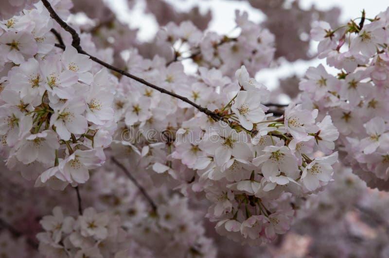 Förbluffa körsbärsröda blomningar med vitt till blekt - rosa färger royaltyfri fotografi