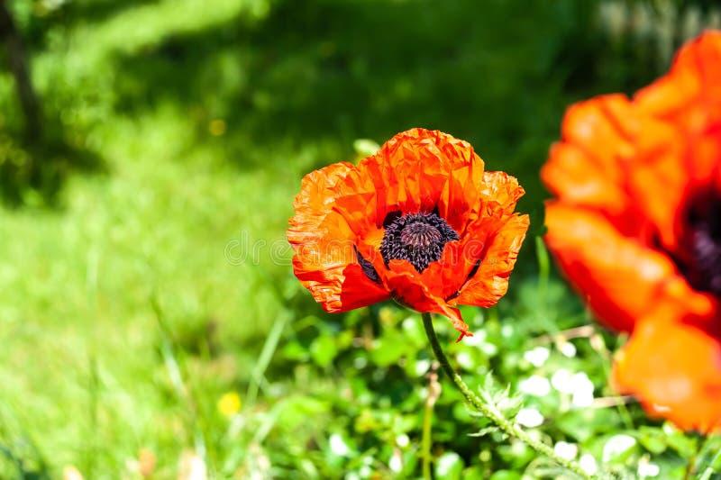 Förbluffa ljus stor röd blommaPapaverorientale i skarp closeup på oskarp grön trädgårdbakgrund med placeholder royaltyfria foton