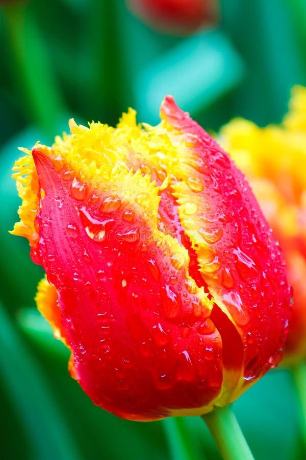 Förbluffa makrofotografi av den röda gula tulpan med regndroppar Suddiga gröna sidor och andra färgrika tulpan i bakgrund arkivfoton