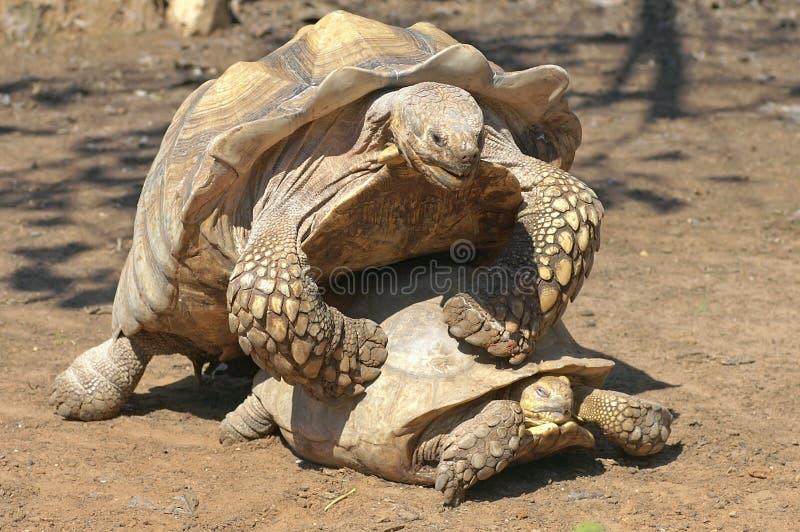 förbunden sköldpaddor royaltyfria foton