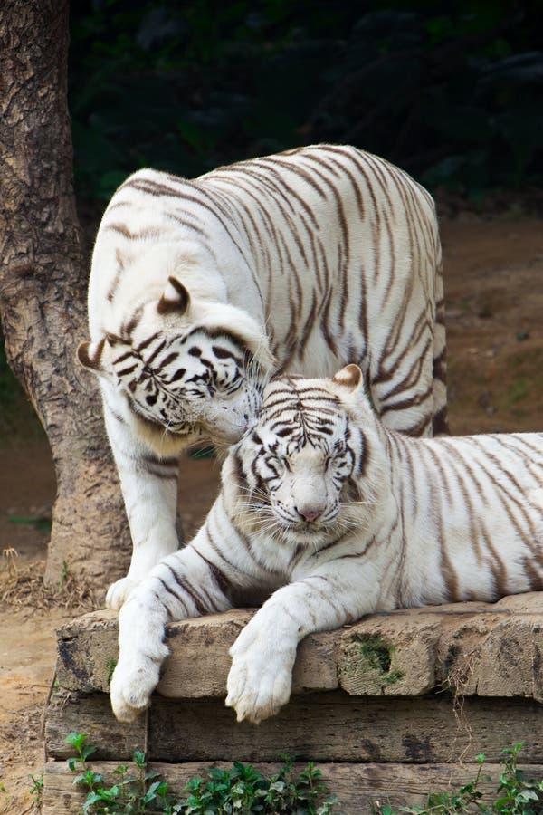 förbunden tigrar som viskar white royaltyfria bilder