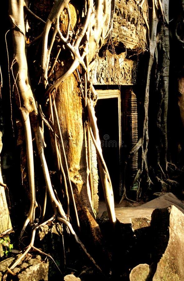 fördärvar bevuxen prohm för angkoren ta-tempelwat arkivfoto