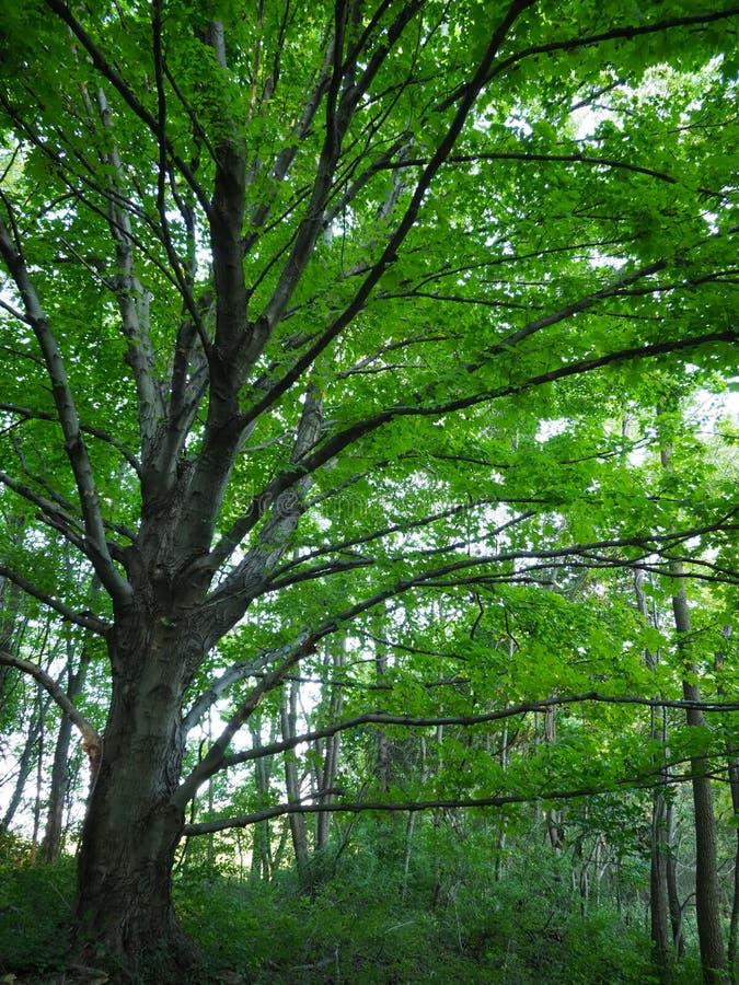 Fördelande träd i skog royaltyfria bilder