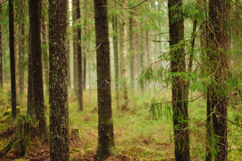 Fördunkla i skogen, gran-trädet filialer som hänger över vägen arkivfoto