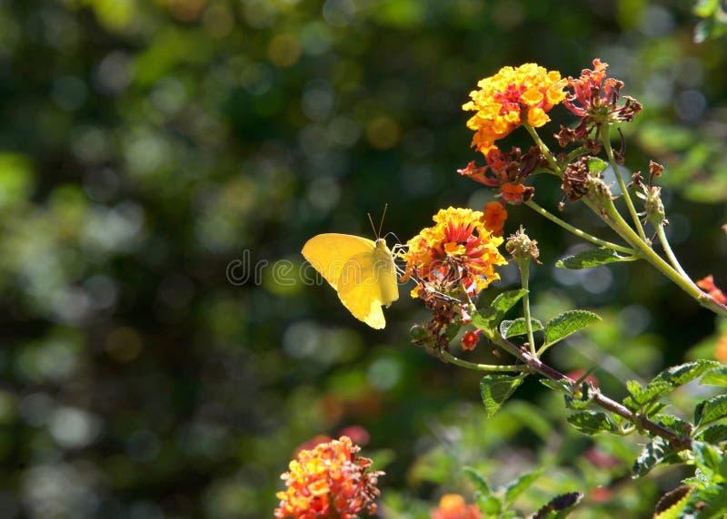 Fördunklad gul fjäril på orange lantanablommor arkivbilder