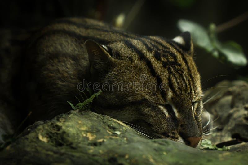 fördunklad leopard arkivfoton