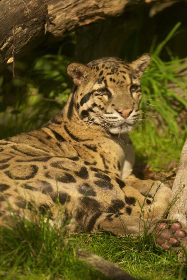 fördunklad leopard royaltyfria foton