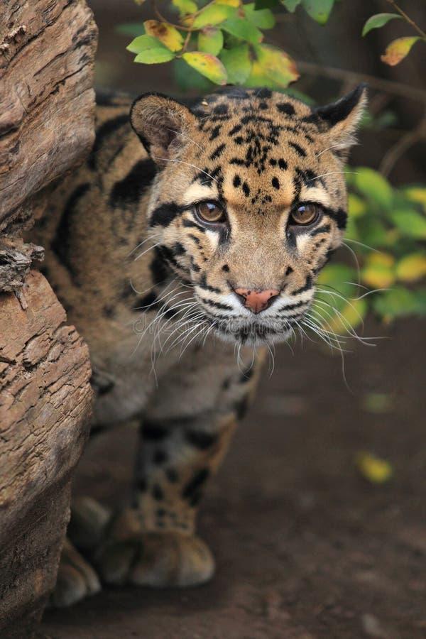 fördunklad leopard royaltyfria bilder