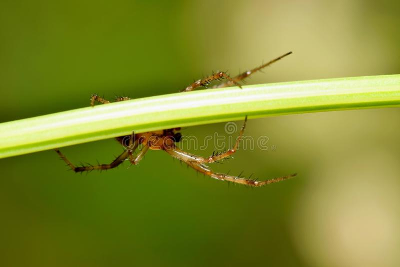 Fördunklad spindel som kryper fram en växtstam fotografering för bildbyråer