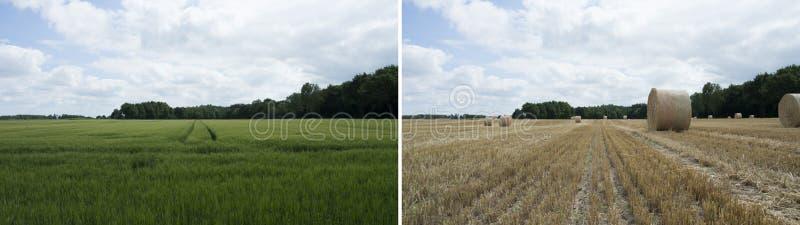 Före och efter sikt - grönt vetefält med blå molnig himmel arkivbild