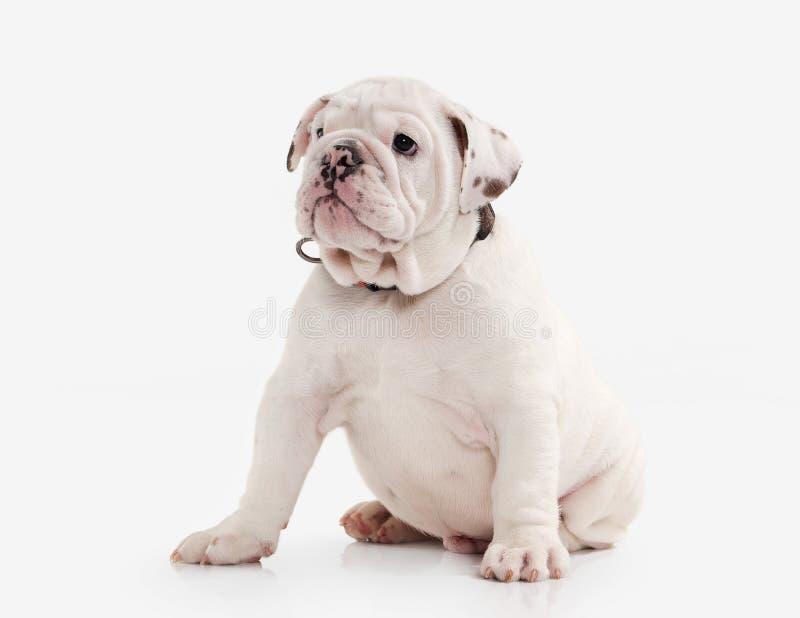 Förfölja Engelsk bulldoggvalp på vit bakgrund arkivbilder