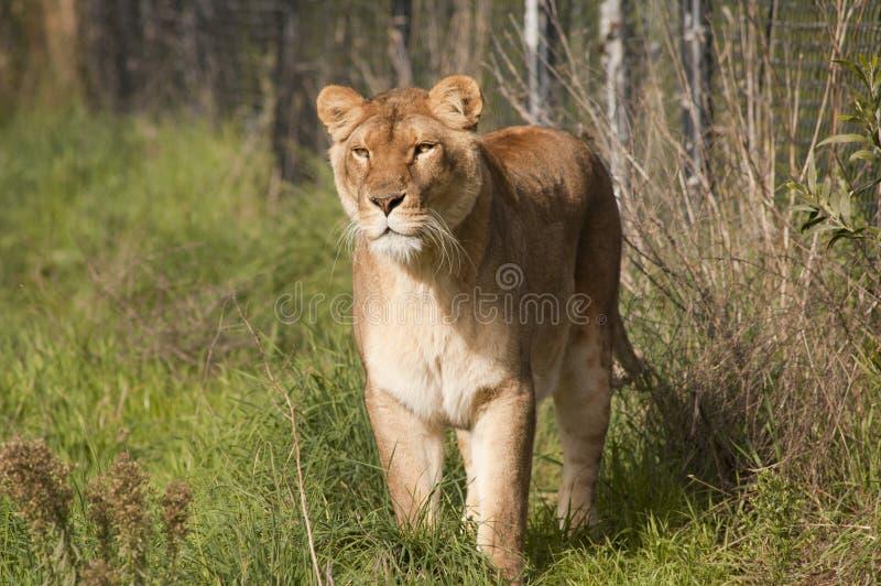 Förfölja För Lioness Arkivfoto
