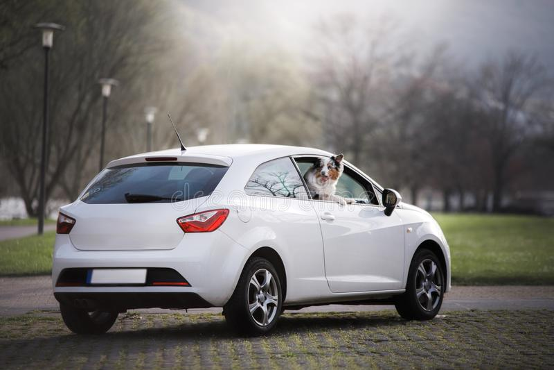Förfölja i bilen australiensisk herde Resa med ett husdjur royaltyfria foton