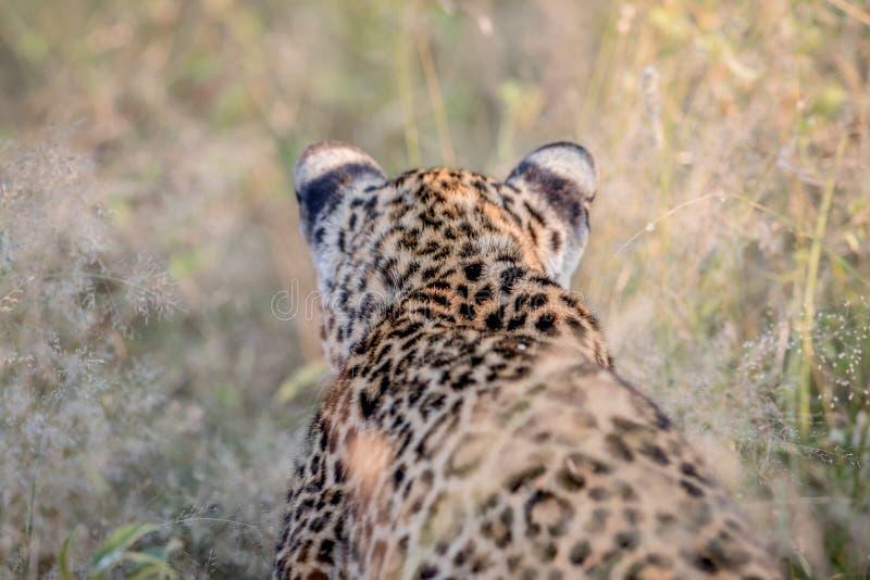 Förfölja leoparden bakifrån i Kruger arkivbilder