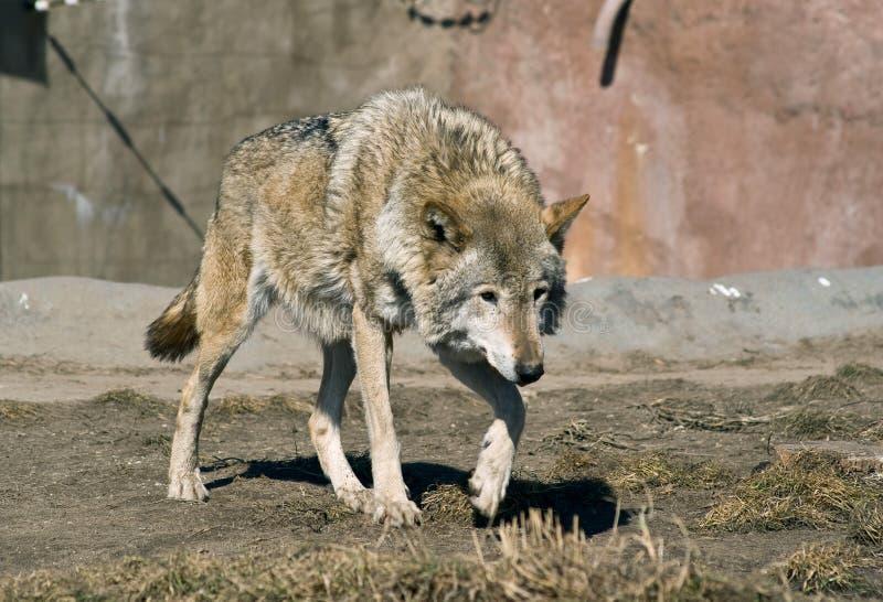 förföljawolf royaltyfri bild