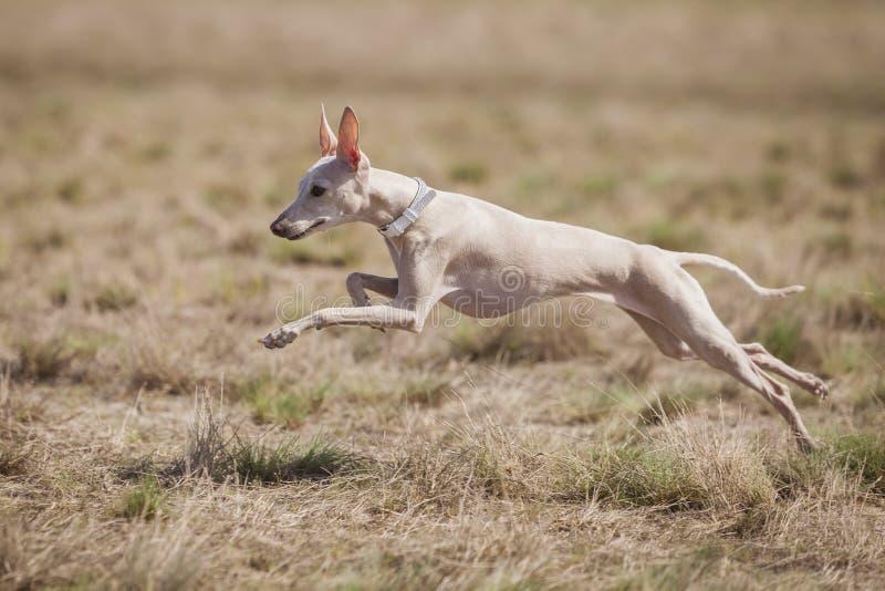 Förföljer den italienska vinthunden för hunden bete i fältet Jaga utbildning fotografering för bildbyråer
