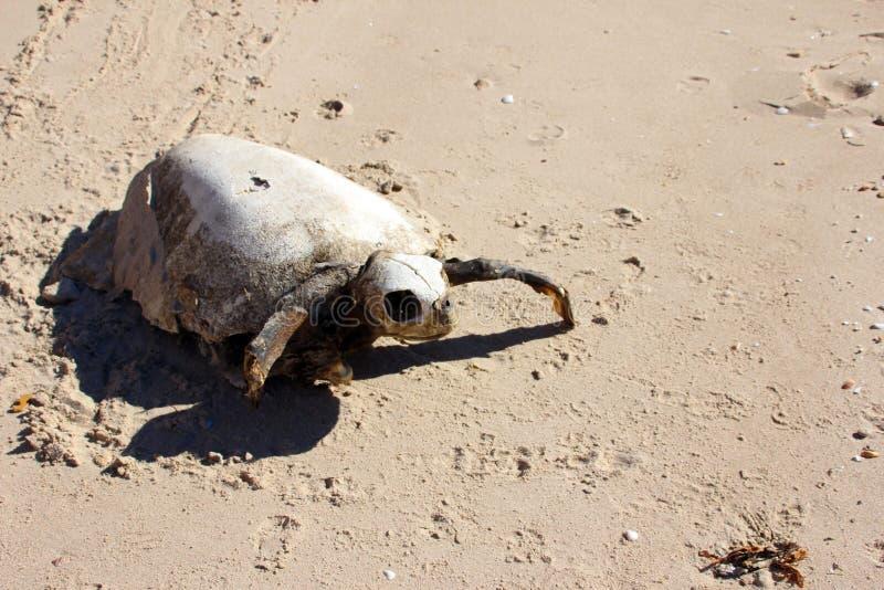Förfalla rest av utsatte för fara döda havssköldpaddan, El Golfo, Mexico royaltyfri bild