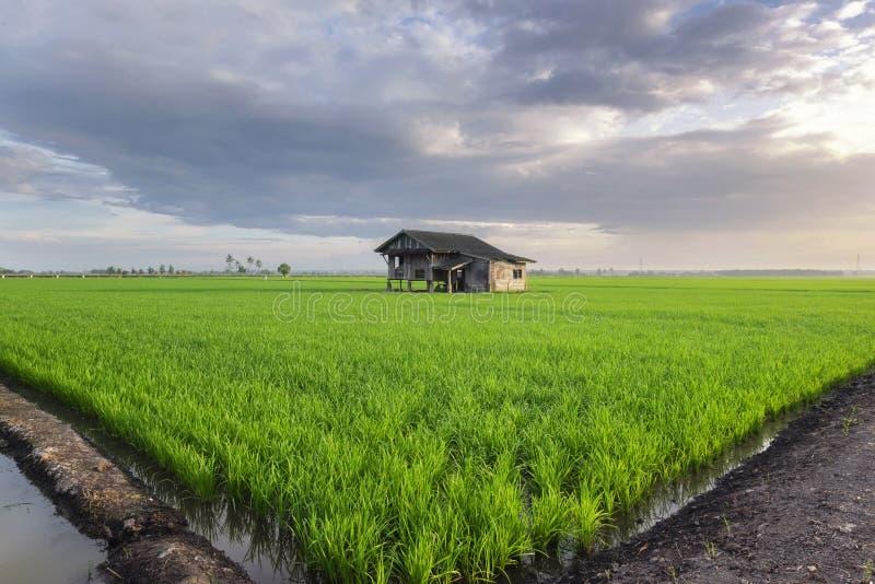 Förfallen trähussikt som omger med det gröna rårisfältet royaltyfria bilder