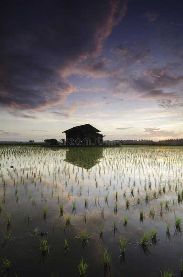 Förfallet trähus i mitt av risfältfältet över härlig soluppgångbakgrund fotografering för bildbyråer