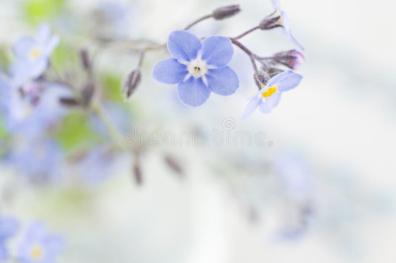 Förgätmigejblommabakgrund royaltyfria foton