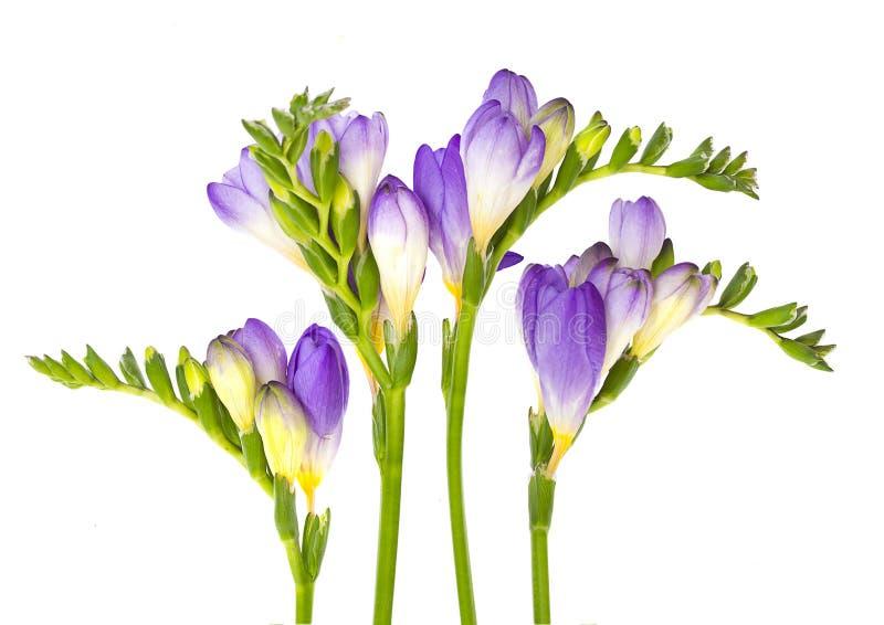 Förgrena sig av freesia med blommor, knoppar royaltyfri fotografi