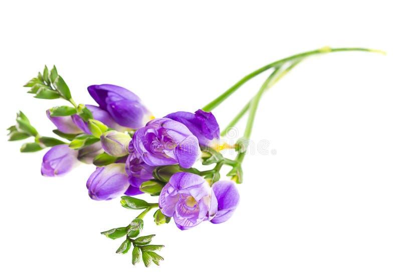 Förgrena sig av freesia med blommor, knoppar arkivbilder