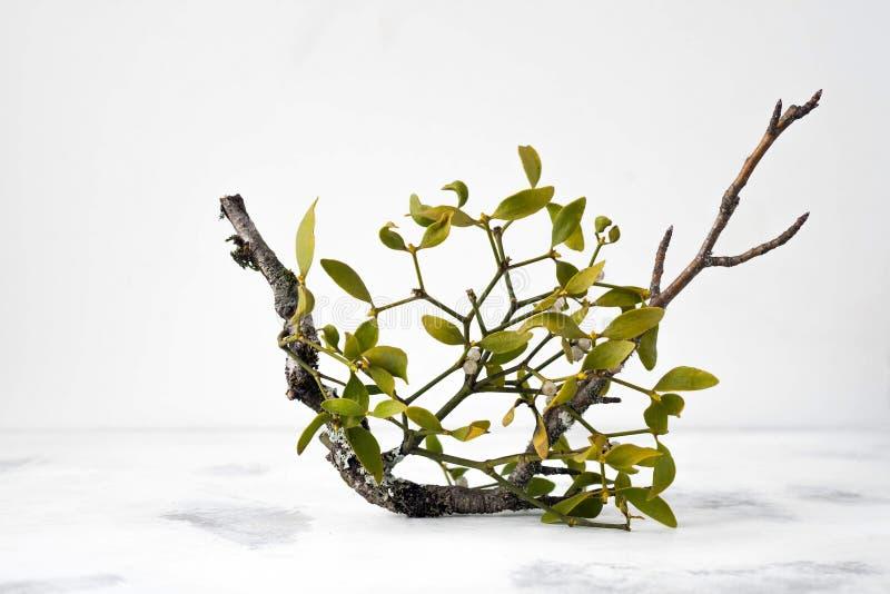 Förgrena sig av mistletoe arkivbild