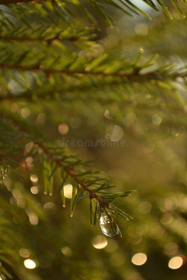 Förgrena sig av spruce royaltyfria bilder