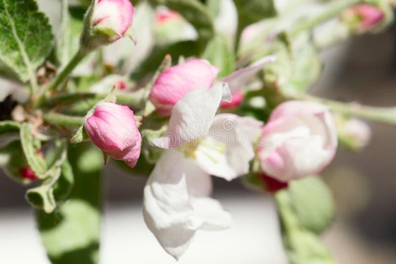 Förgrena sig det Apple trädet med blommor och rosa färgknoppar royaltyfria foton