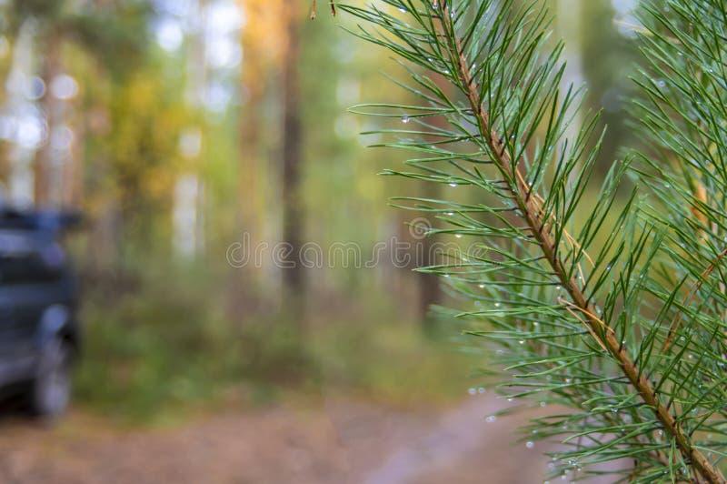 Förgrena sig det gröna barrträdet med regndroppar på suddig bakgrund av höstskogen arkivfoto
